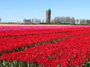 omringd door de mooie tulpenvelden in het voorjaar