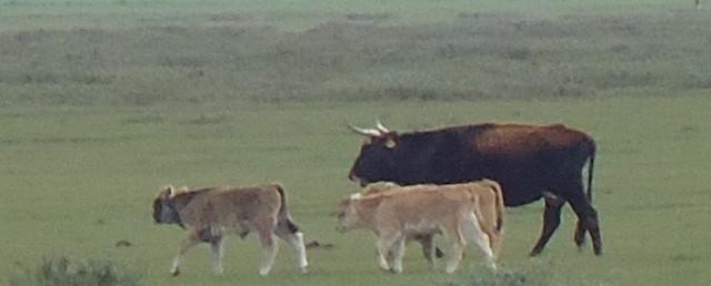 Runderen in het natuurgebied de slikken van Goeree Overflakkee.