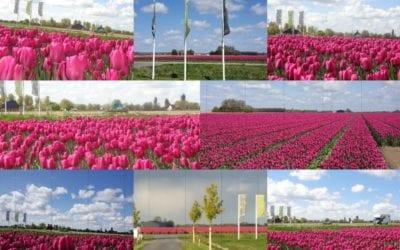 Tulpenveld tegenover Camping De Lage Werf.